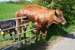 Vache-concours-gratuit-©bleu.net